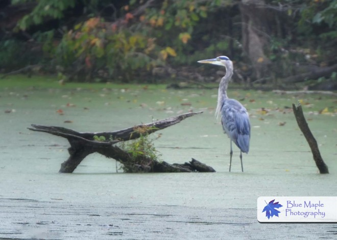 Blue Heron in Pond at Emily Traphagen Preserve